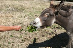 Human hand feeding donkey. With twig of green fresh leaves Royalty Free Stock Images