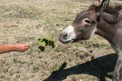 Human hand feeding donkey. With twig of green fresh leaves Royalty Free Stock Photo