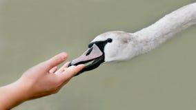 Human hand feeding swan Royalty Free Stock Photography
