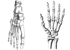 Human hand and foot. Skeleton hand and foot,  illustration Royalty Free Stock Image