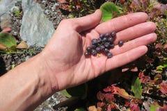Human hand gathering wild berries. Harvesting whortleberries. Ripe dark berries of bilberry in forest. Picking bilberries. Crop of stock photos