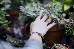 Human Hand on Green Leaf Plant on Brown Pot Royalty Free Stock Photo