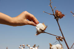 Human hand harvest ripe cotton Royalty Free Stock Images