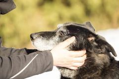 Human hand and head of dog Royalty Free Stock Image