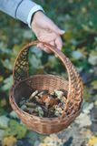 Human hand holding basket with eatable mushrooms Royalty Free Stock Images