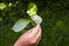 Human hand holding a branch with four green hazelnuts. royalty free stock photo