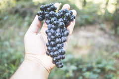 Human hand holding a bunch of black grapes, outdoor. Royalty Free Stock Images
