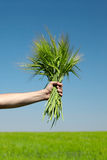 Human  hand holding bundle of the green wheat ears Royalty Free Stock Image