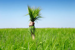 Human  hand holding bundle of the green wheat ears Stock Photography