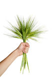 Human  hand holding bundle of the  wheat ears. Human  hand holding bundle of the golden wheat ears Royalty Free Stock Photography
