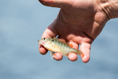 Human hand holding colorful perch. In palm over blue water royalty free stock images