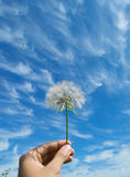 Human hand holding a fluffy dandelion Royalty Free Stock Photos