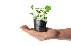 Human hand holding green plant. In a transparent cup Royalty Free Stock Photos