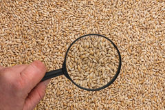 Human hand holding a magnifying glass over the barley Stock Photo