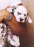 Human hand holding many puppies dalmatian. Close up stock photos