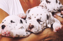 Human hand holding many puppies dalmatian Royalty Free Stock Images