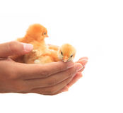 Human hand holding two of baby chick seem helping protect and ca. Re islated on white Royalty Free Stock Image