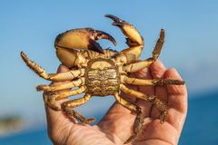 The human hand holds a brown crab Stock Photo