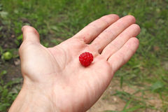 Human hand holds single raspberry Stock Images