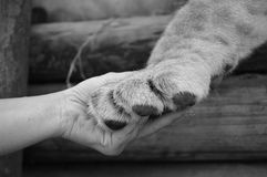 Human hand and lion paw. A human hand holding a lion's paw Royalty Free Stock Images