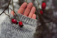 rosehip red berrys branch bush human hand mittens winter snow cold weather garden Royalty Free Stock Image