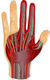 Human hand nerves and muscle Royalty Free Stock Photos