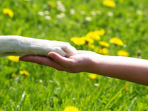 Paw in hand (3). A human hand and a paw of a dog, in background a flower meadow with yellow dandelions Royalty Free Stock Photography