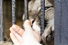 Human hand petting big cat through fence Stock Photos