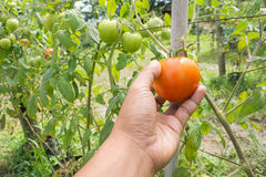 Human hand picking ripe tomato at at plant nursery. Stock Photography