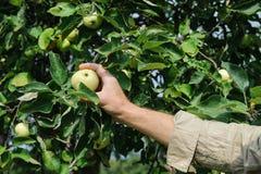 Human hand plucks ripe apples Royalty Free Stock Photos