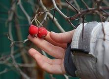Human hand plucks ripe hawthorn berries Stock Photos