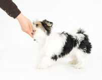 Human hand feeding small longhaired mixed dog, 16 weeks old Royalty Free Stock Photography