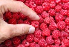 Human hand selects raspberry Royalty Free Stock Photo