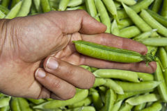 Human hand showing green peas Stock Image