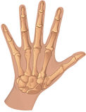 Human hand skeletal system Stock Photo