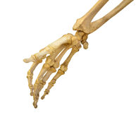 Human hand skeleton on white stock image