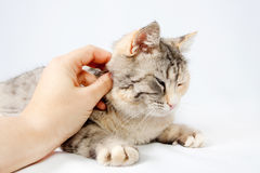 Human hand stroking cat spotted Royalty Free Stock Photography