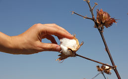 Human hand touches a boll of ripe cotton Royalty Free Stock Photography