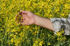 Farmer examining blossoming rapeseed field Stock Images