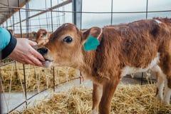 Human hand are touching a calf nose. Calf licks the hand of human.  Stock Photos