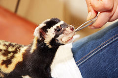 Human hand with tweezers feeds Marbled polecat (Vormela peregusn Royalty Free Stock Photography
