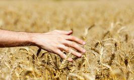Human hand on wheat field Royalty Free Stock Images