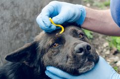 Human hands in blue gloves remove the tick with the hook of the dog.  stock photos
