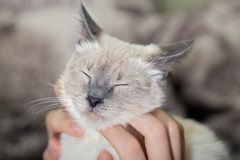 Human hands caress the cat, scratch the face with covered eyes. Close-up, selective focus, blurred background stock image