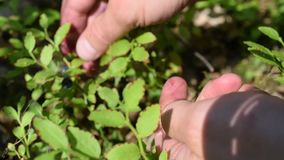 Human hands collecting bilberry. Human hands collecting blue bilberry with vibrant green leaves in a forest stock video