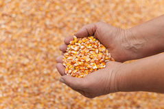 Human hands with grains of corn. Stock Photos