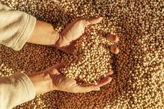 Human hands with harvest. Human hands with soy harvest. Handful of grains royalty free stock photo