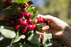 Human hands harvesting cherries Stock Photos