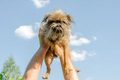 Human hands hold a Brussels griffon dog. Stock Images