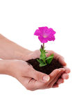 Human hands hold  flower Stock Photo